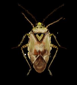 Hemiptera